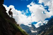 ibex at high altitude during a beautiful day poster