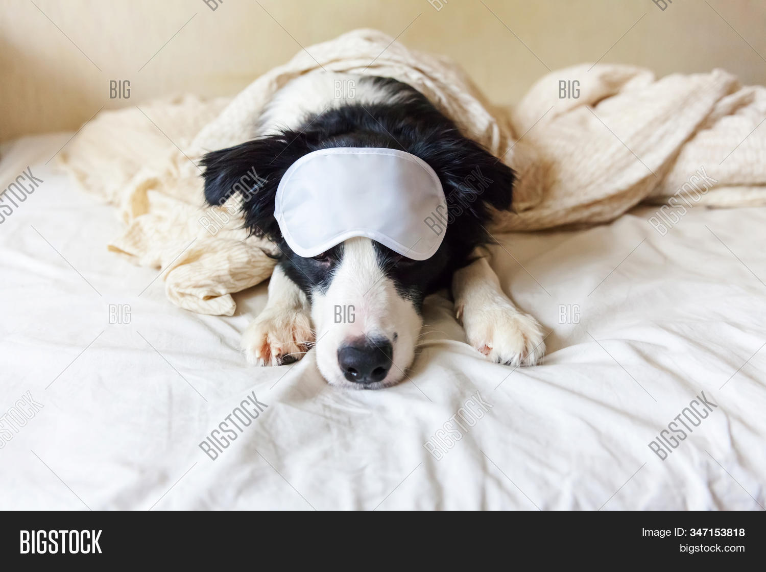 Do Not Disturb Me Let Me Sleep. Funny Puppy Border Collie With Sleeping Eye Mask Lay On Pillow Blank