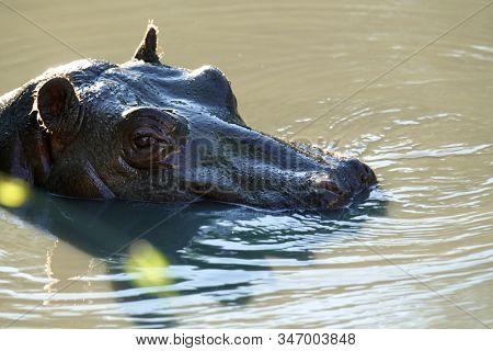 hippopotamus swimming in the river in wild nature