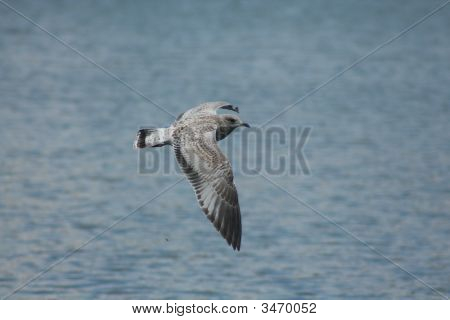 Seagull flying over the lake in search