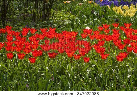 Tulipa Of The Purissima King  Species On A Flowerbed.