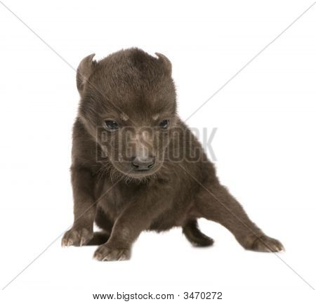 Hyena cub (6 days) in front of a white background poster