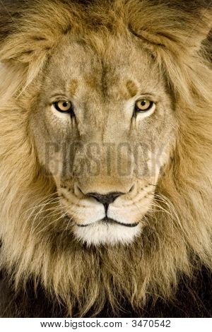 Close-Up On A Lion\'S Head (4 And A Half Years) - Panthera Leo