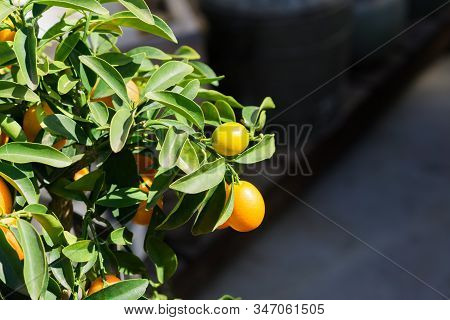 Branch Full Of Ripe Ornge Lemons In Sun Rays. Fresh Harvest Of Eco Fruits.