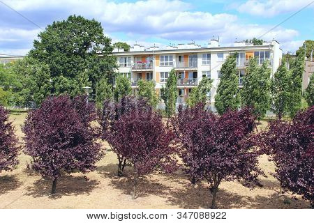 Tree With Black And Purple Coloring Growing In City Garden. Prunus Cerasifera With Dark Red Foliage.