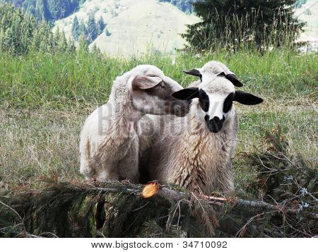 Three sheep have become detached from the herd.