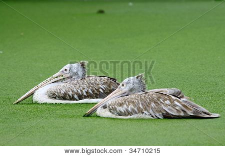 Pair Pelican in water with green plant