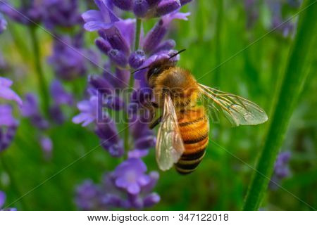 Honey Bee Collecting Pollen On A Flower In The Garden, Bee Flying, Bee On The Flower, Super Macro Be