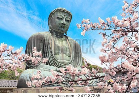 The Great Buddha and flowers of sakura, Kotoku-in temple, Japan, Asia. Cherry blossoming season in Japan