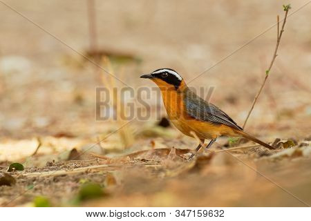 White-browed Robin-chat - Cossypha Heuglini, Also Heuglins Robin,bird In The Family Muscicapidae, Fo