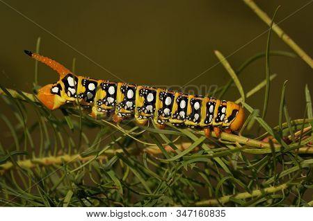 Spurge Hawk-moth - Hyles Euphorbiae Caterpillar European Moth Of Sphingidae, Agent Of Biological Pes