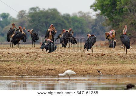 Flock Of Marabou Stork - Leptoptilos Crumeniferus Large Wading Bird In The Stork Family Ciconiidae,