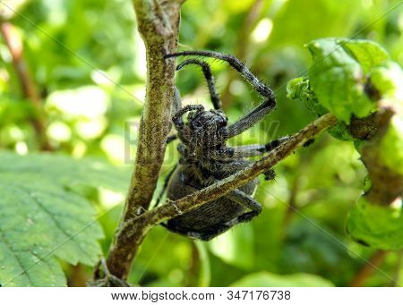 A Large Hairy And Scary Forest Arthropod Spider Cross. Nature In Macro Photography. Exotic Insects.