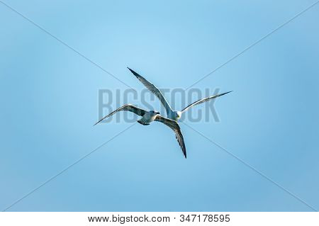 Two Sea Gulls In The Clear Blue Sky. The Great Black-backed Gull, Larus Marinus, Flying In Blue Clea