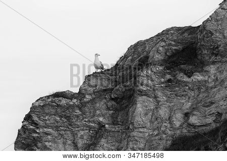 A Lonely Seagull Stands On The Giant Rock At St Austell, Cornwall, England. The Bird Seems To Watch