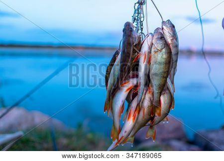 Many Perch Fish Hanging Caught By Angler On Fish Stringer Against The Background Of Evening Sunset O