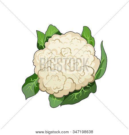 Cauliflower Organic Farm Vegetable. Healthy Raw Vegetarian Vegan Food. Isolated Vector Illustration
