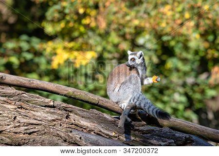 Ring-tailed Lemur, Lemur Catta. Striped