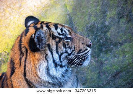Sumatran Tiger, Panthera Tigris Sumatrae