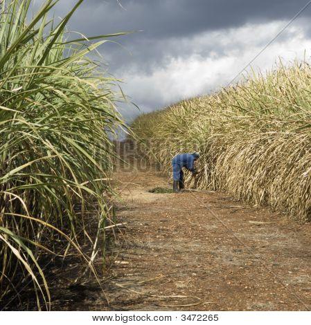 Sugarcane Field