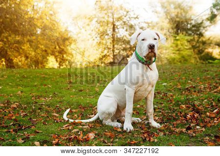 Dogo Argentino Sitting On Grass In Autumn Park Near Red Leaves. Canine Background