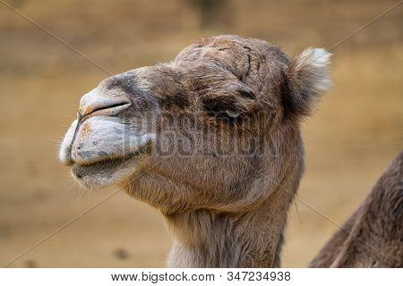 Dromedary, Camelus Dromedarius In Jerez De La Frontera, Andalusia In Spain