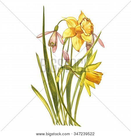 Watercolor Narcissus And Snowdrops. Wild Flower Set Isolated On White. Botanical Watercolor Illustra