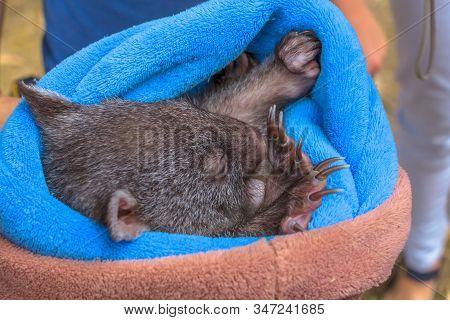 Closeup Of A Cute Wombat Joey Sleeping In Marsupial Position Of A Few Weeks, Vombatus Ursinus. The W
