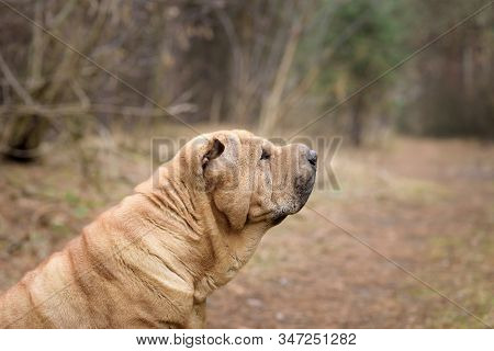 Shar Pei Dog In The Forest. Side View, Not Looking At The Camera. Red Cheerful Characteristic Dog.