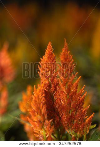 Closeup Beautiful Orange Celosia, Phurua, Celosia Argentea L, Plumed Cockscomb, Celosia Cristata Flo
