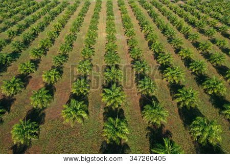 Aerial photo of palm oil plantations
