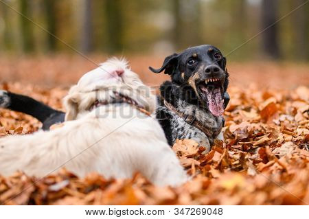 Young Golden Retriver Playing In Fallen Leaves