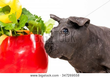 Black Skinny Guinea Pig With Vegetable Cake