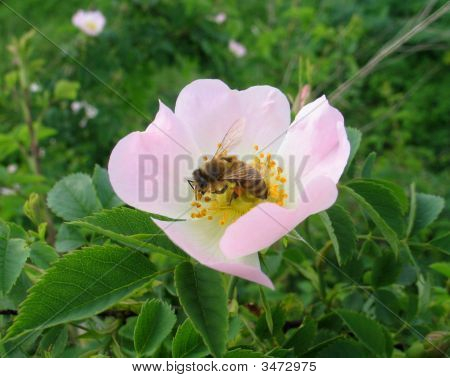 Close-Up Of A Wild Flower In Field With Bee In It