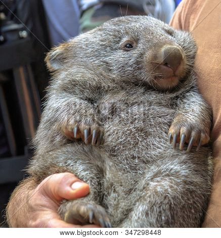 Wombat, Vombatus Ursinus, In The Arms Of A Ranger In A Fetal Position. Closeup Of Masupial And Adult