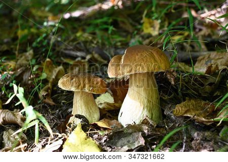 In The Deciduous Wood Among The Fallen-down Brown Foliage And A Green Grass Two Beautiful Cepes Grew