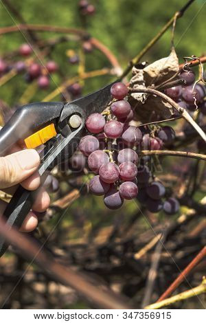 Vine Fruit Harvesting. A Male Hand Holds A Pruning Shears And Cuts Off The Ripe Dark Grape Fruit.