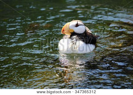 A Tufted Puffin Surveys Its Maritime Domain.