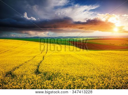 Dramatic summer meadow with yellow rapeseed at sundown. Picturesque rural area in springtime. Photo of ecology concept. Agrarian industry. Location place of Ukraine, Europe. Beauty of earth.