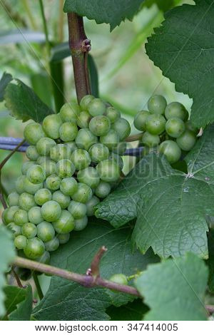 Green Chardonnay Grape Bunch On Vine With Leaves And Stem At Canadian Winery.
