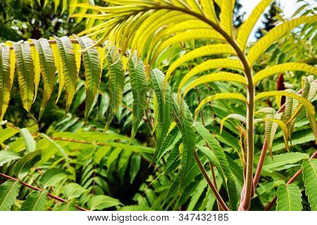 Natural Green Young Ostrich Fern Or Shuttlecock Fern Leaves.