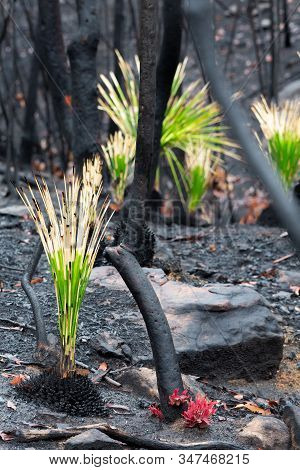 Fireproof Grass Trees, Have A Resin That Resists The Heat Blast Of The Fire And Will Flower Profusel