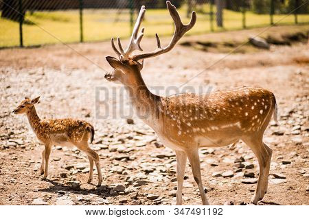 Cute Spotted Fallow Deer Is Ruminant Mammal Belonging To The Family Cervidae.