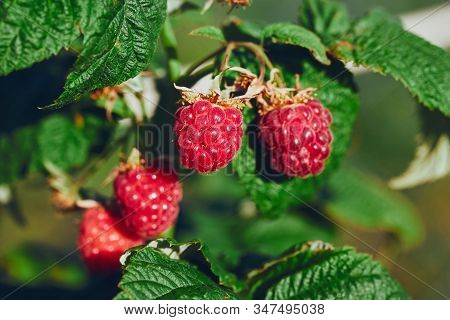 Bunch Of Raspberries Hanging On A Branch