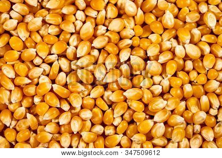 Background Full Of Fresh Raw Corn Or Maize Kernel, Healthy Natural Nutrition