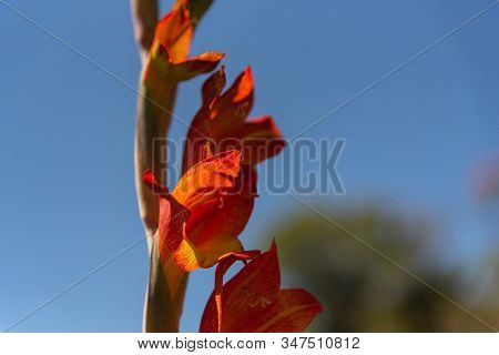 Canna Indica Flower, Commonly Known As Indian Shot, African Arrowroot, Edible Canna, Purple Arrowroo