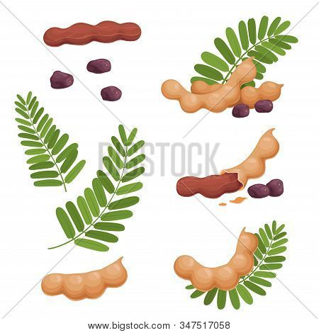 A Set Of Seeds Of Fruits And Leaves Of Tamarind. Illustration Of A Fresh, Ripe Tamarind