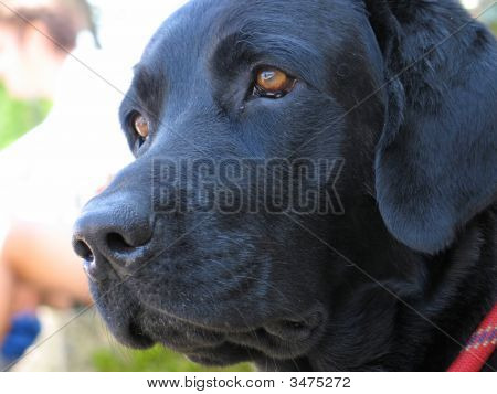 Portrait of a black dog close up poster
