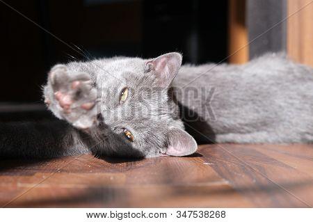 British Shorthair Cat Yawns, Beautiful Gray Kitten, Close-up Portrait, Arrogant And Cute Animal, Pre
