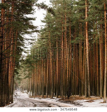 A Snowy, Aphthalized Road Through A Pine Forest Along Which The Carriageways Of Cars On The Carriage